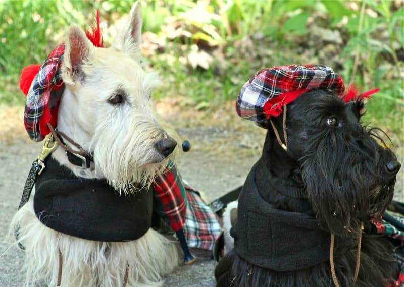 otros nombres del scottish terrier
