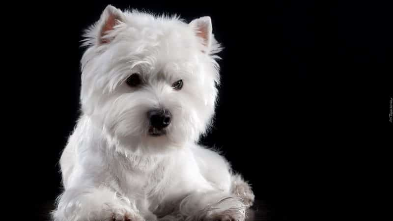 pelaje del west highland white terrier