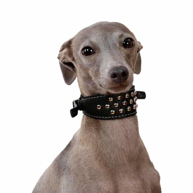 pequeño galgo italiano con un collar para perros bien mono