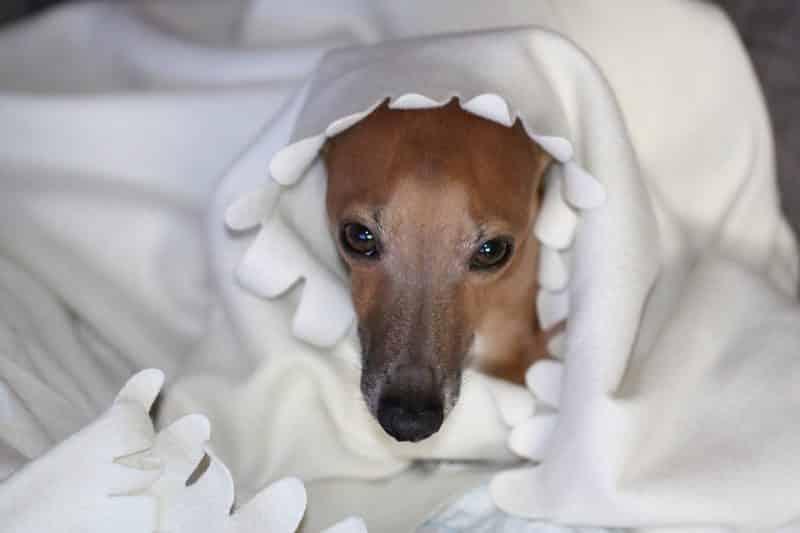 pequeño galgo italiano cubierto por una manta blanca