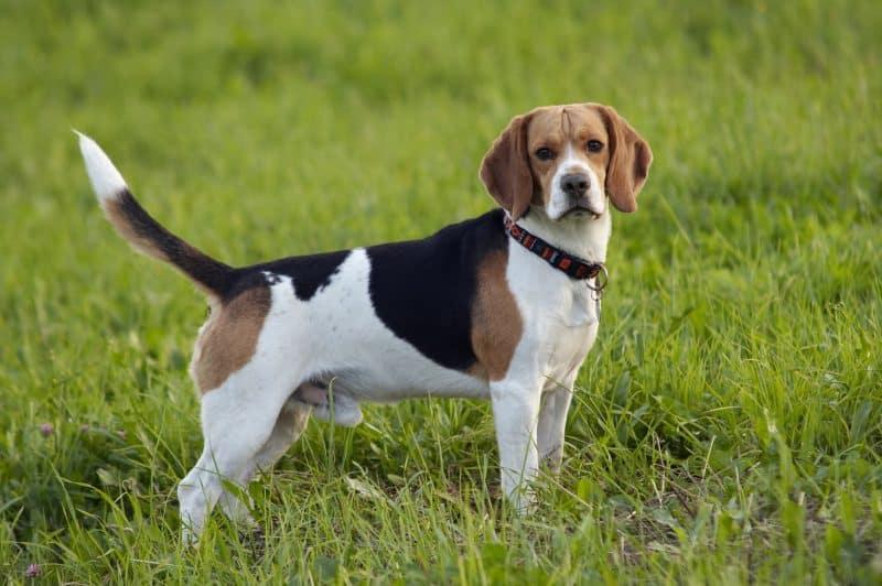 vista lateral de un perro Beagle