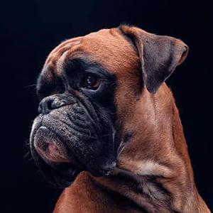 perro boxer aleman contemplando la inmensidad