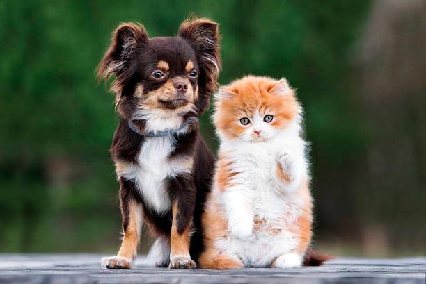 perro chihuahua junto a un gato