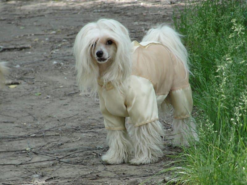 perro crestado chino blanco modelando ropa para perros