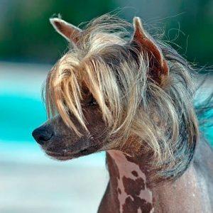 Todo sobre el Perro Crestado Chino: Precios, cachorros, criadores, características, cuidados, imágenes y mucho más