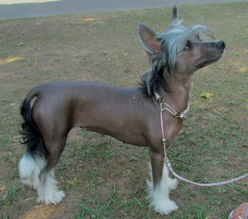 perro crestado chino sin pelo parado