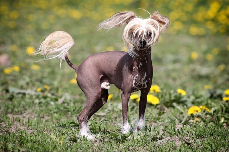 perro crestado chino sin pelo parado sobre cesped