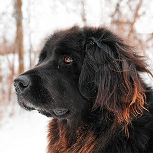 Terranova (perro)