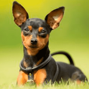 Todo sobre el perro Pinscher Miniatura: Precios, temperamento, características, cachorros, fotos y mucha más información