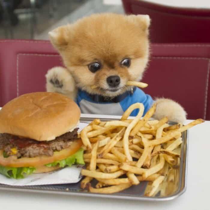 pomerania comiendo una hamburguesa y papas fritas