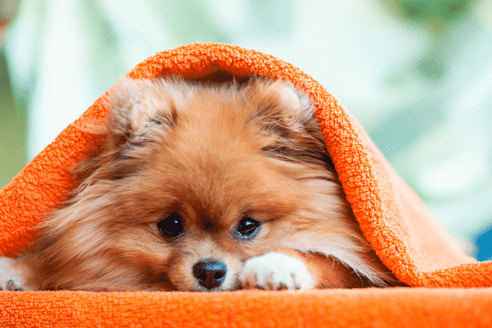 pomerania descansando bajo una manta