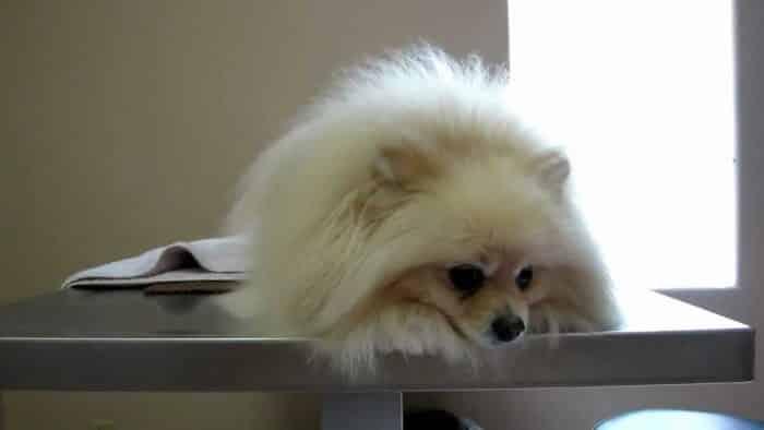 pomerania sobre mesa de operaciones de un veterinario