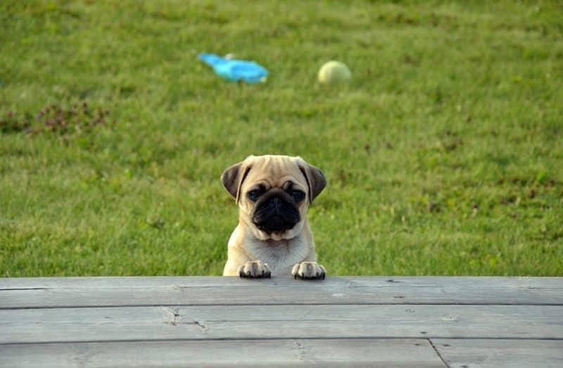 Pug asomado detrás del piso de una terraza