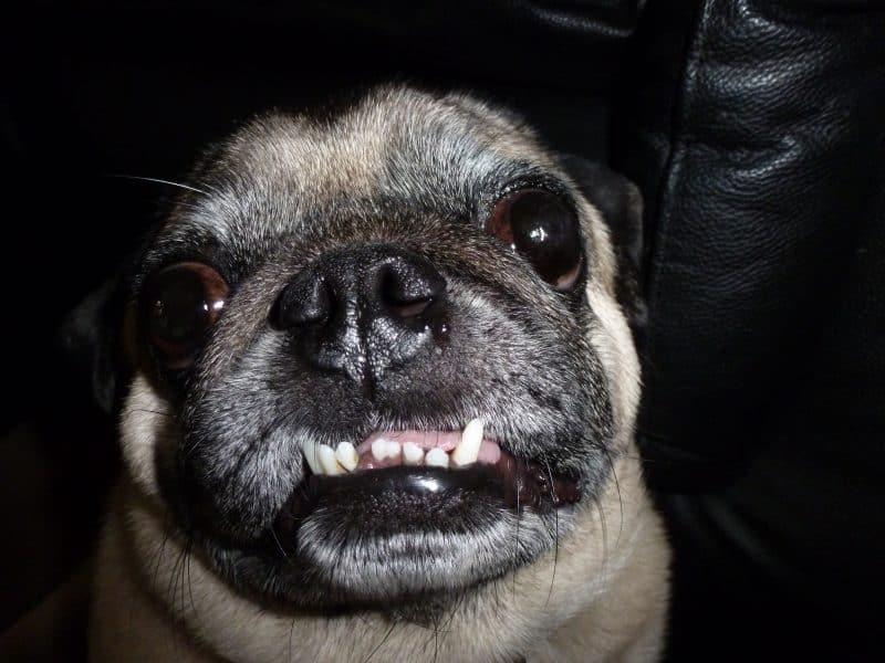 Pug mostrando sus colmillos inferiores