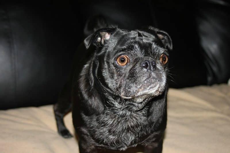 Pug negro con cara de asustado