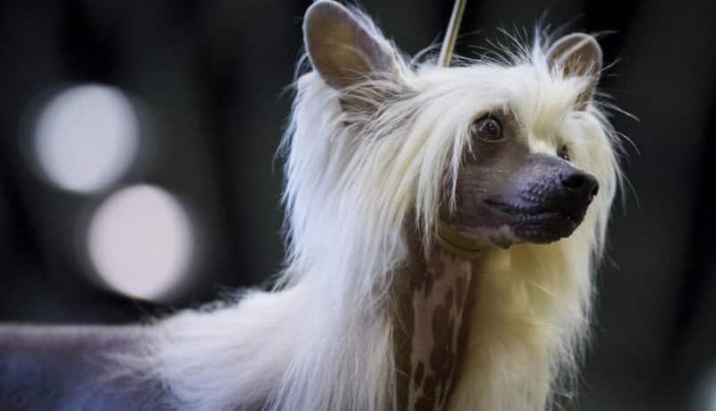 retrato con boke de un perro crestado chino