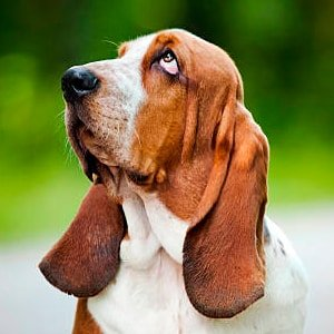 retrato de un basset hound