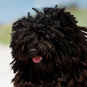 Puli (perro)