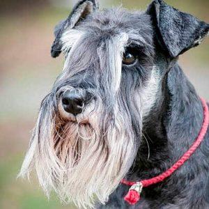 Todo sobre el perro Schnauzer Miniatura: Precios, cachorros, características, carácter, criadores, imágenes, cuidados y mucho más