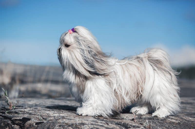 shih tzu sobre una roca disfrutando el viento