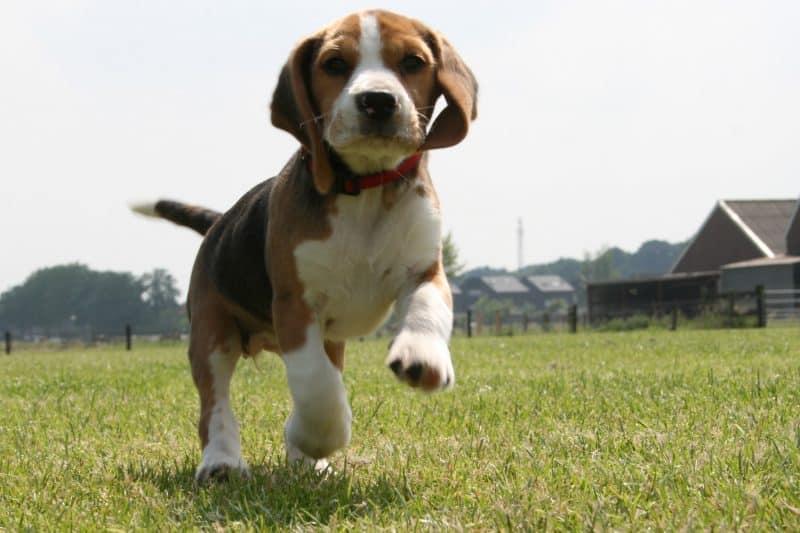 temperamento del beagle