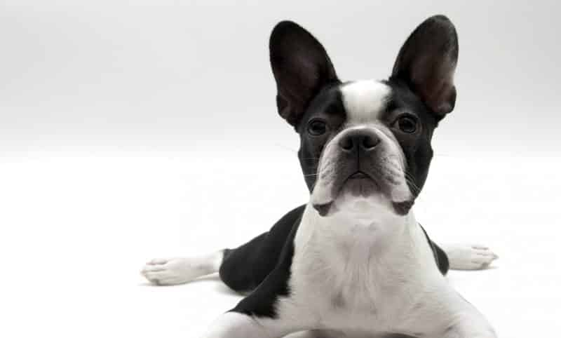 Temperamento del boston terrier. En la imagen un boston terrier sobre fondo blanco