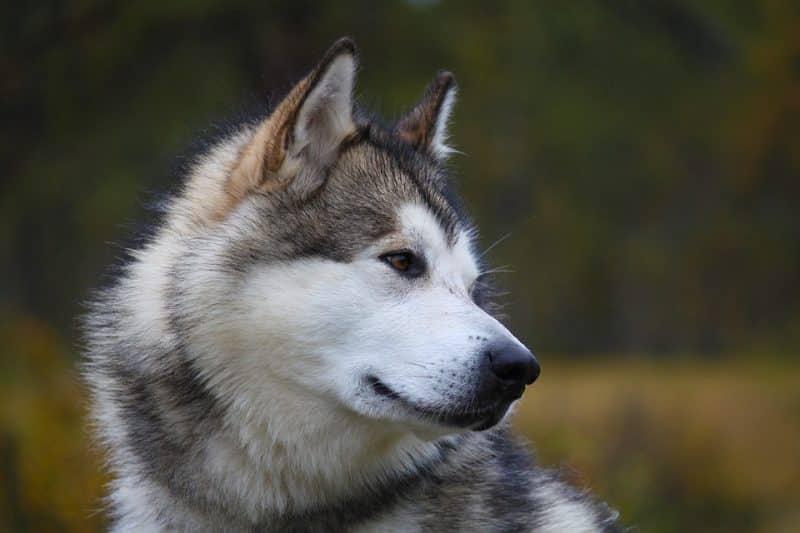 temperamento del malamute de alaska