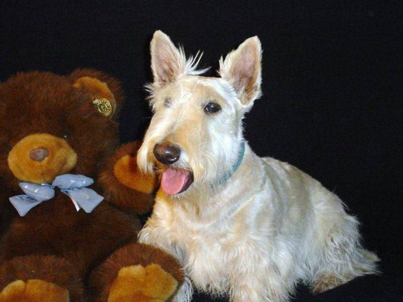 temperamento del scottish terrier