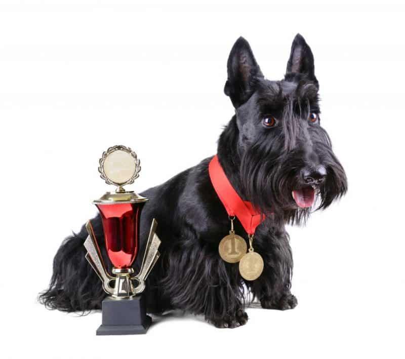 terrier escoces campeón