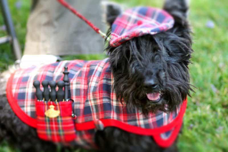 terrier escoces con disfraz de perro escoces