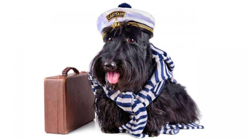 terrier escoces con un disfraz de perro marinero