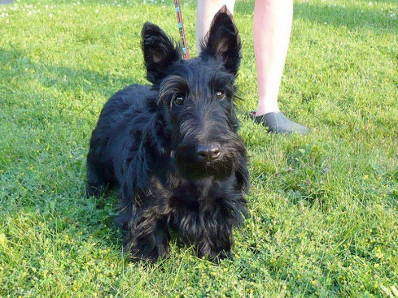 terrier escoces negro de paseo en el parque