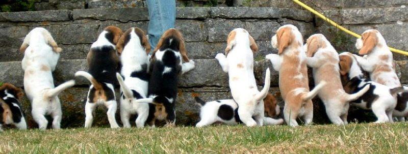 tipos de beagle según su color