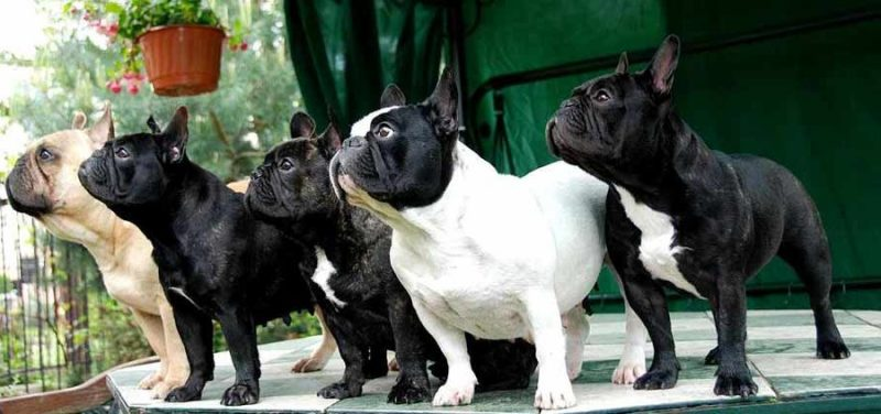 tipos de Bulldog Frances