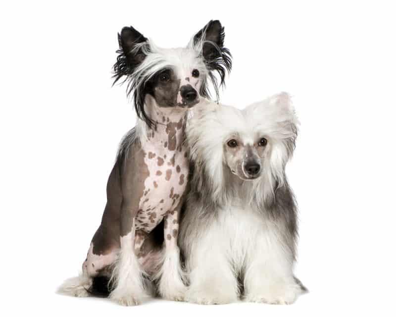 tipos de perro crestado chino