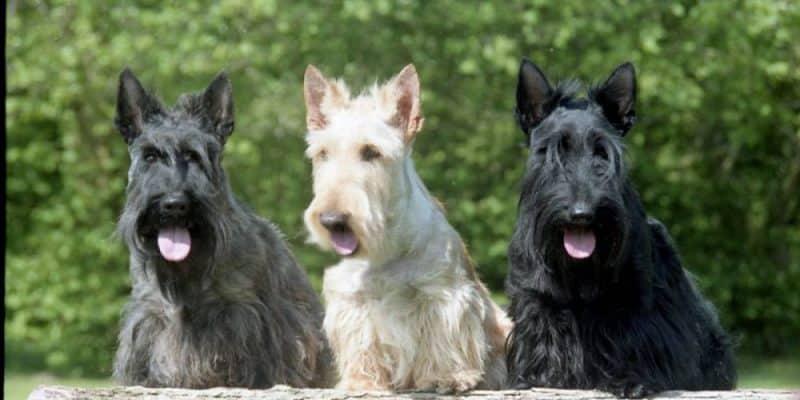 tipos de scottish terrier