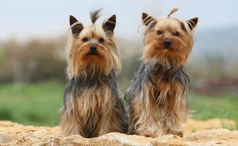 tipos de yorkshire terrier