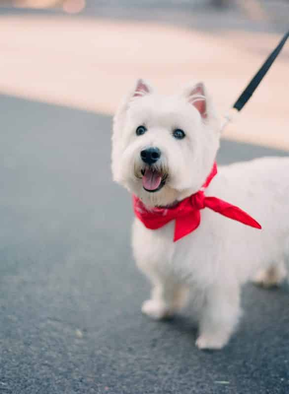 west highland white terrier con bufanda roja