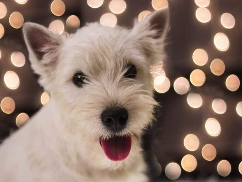 west highland white terrier con fondo iluminado