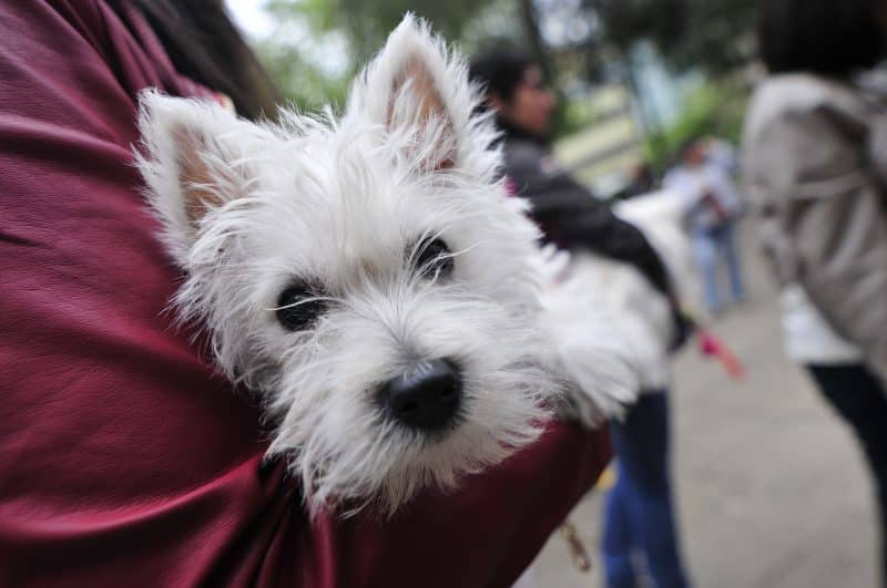 west highland white terrier en brazos de su amo