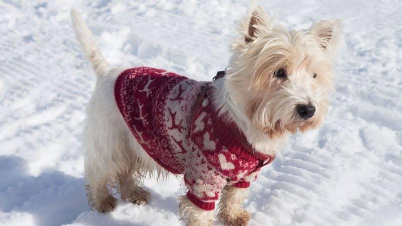 west highland white terrier en la nieve con chaleco