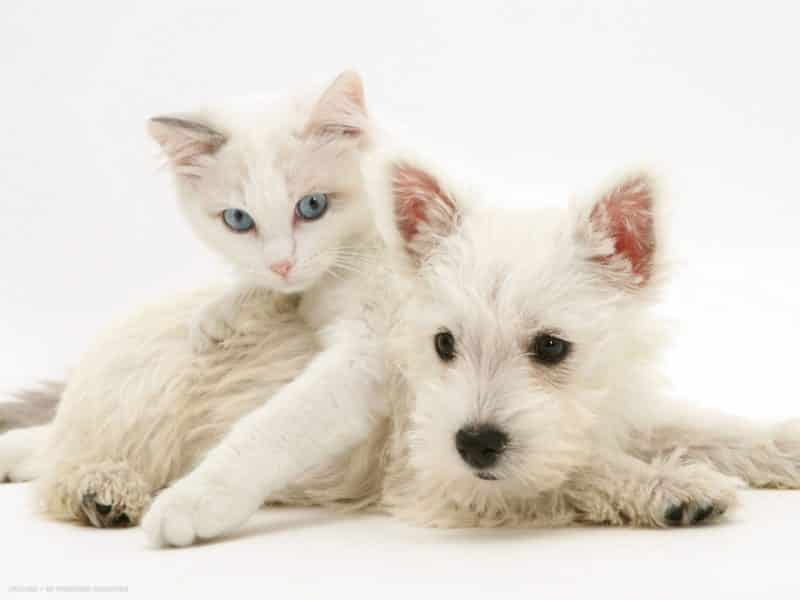 west highland white terrier junto a un gato blanco