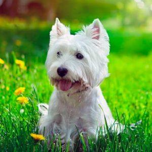 Todo sobre el West Highland White Terrier (Terrier blanco): Precios, características, temperamento, cachorros y mucho más