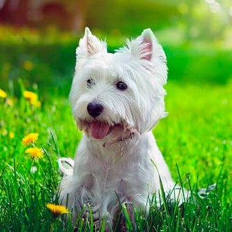 west highland white terrier observando la inmensidad