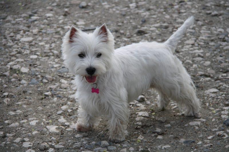 west highland white terrier sobre suelo con piedras