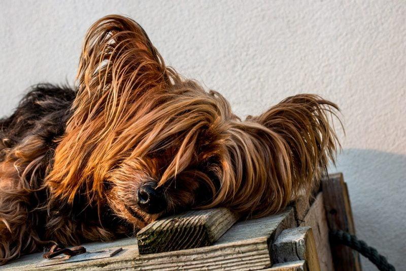 yorkshire terrier durmiendo sobre una caja