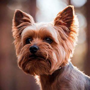 Todo sobre el Yorkshire Terrier: Precios, tipos, cuidados, características, fotos, cachorros, temperamento y mucho más