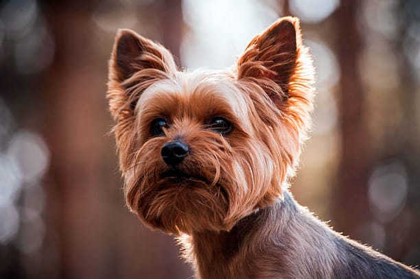 yorkshire terrier observando la inmensidad