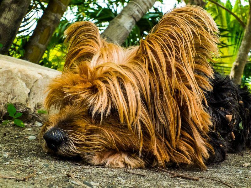 yorkshire terrier tumbado en el jardín