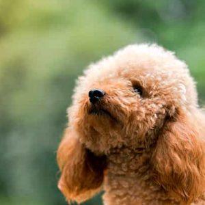 Todo sobre el perro Caniche Toy: Características, tipos, precios, criadores, cachorros, cuidados, fotos y mucho más